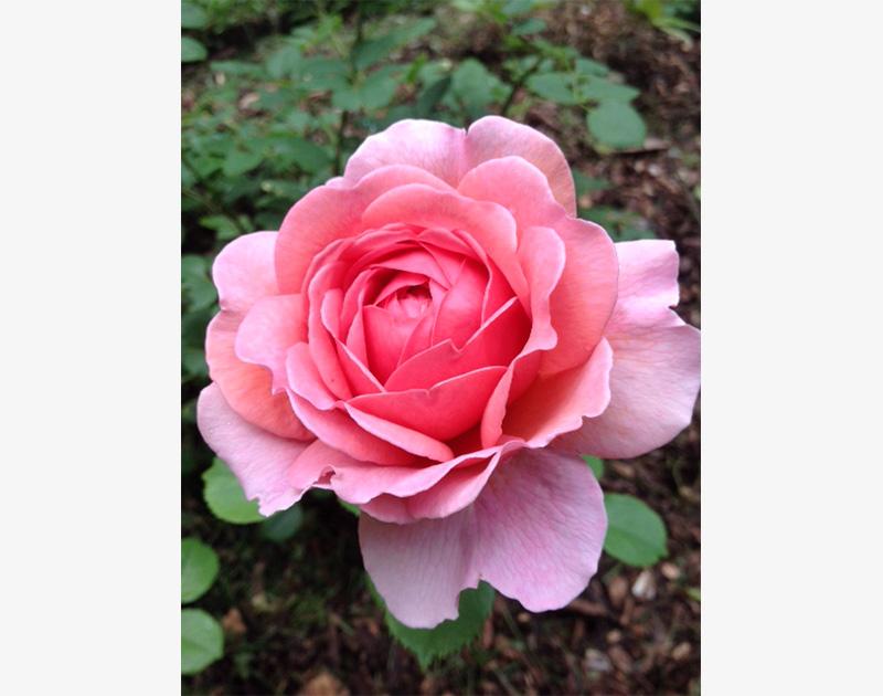 Rose, David Austin