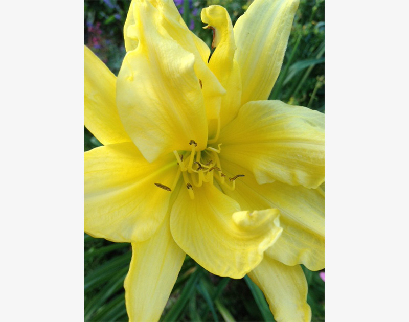 Daylily, fragrant in yellow