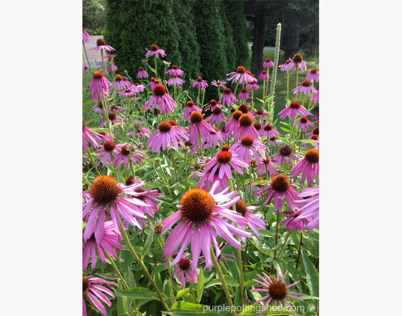 Cone Flower, purple
