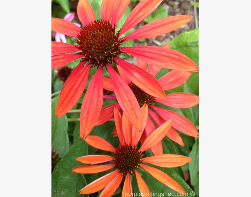 Cone Flower, 'Sundown'