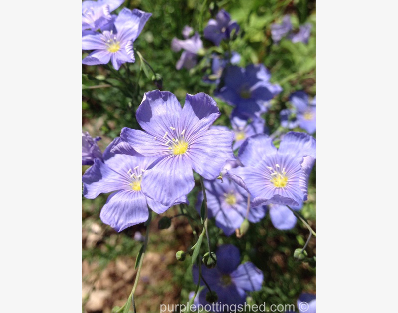 Blue flax, close up