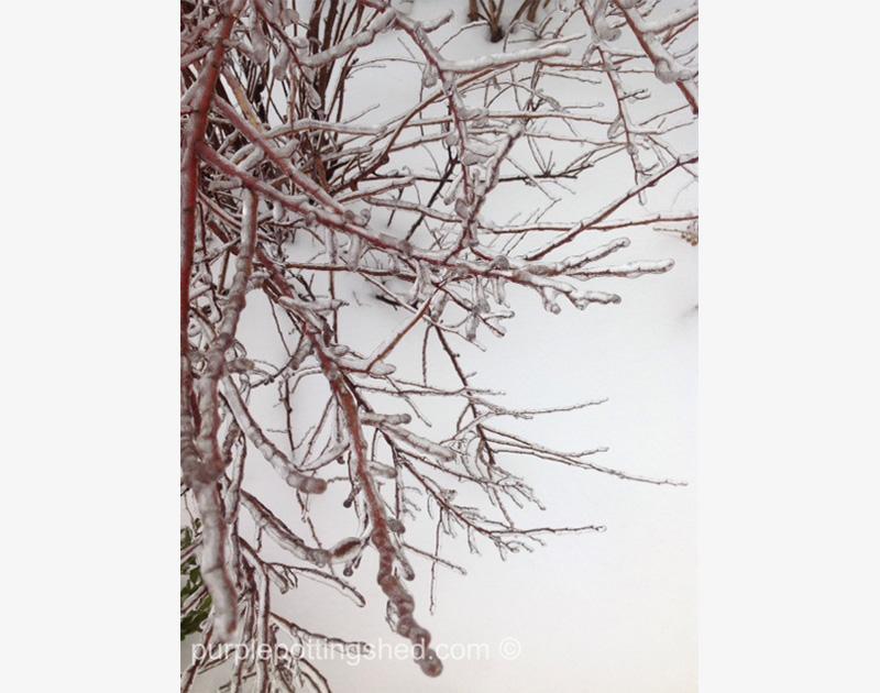 Iced Potentilla