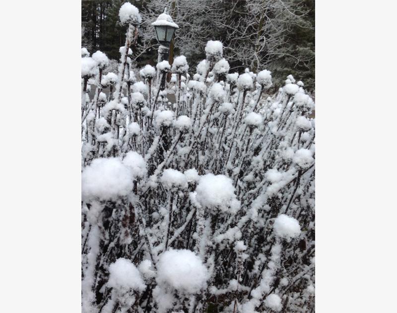 Cone Flowers, snow