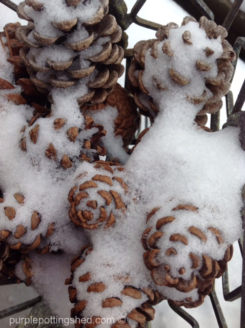 Pinecones with snow.jpg