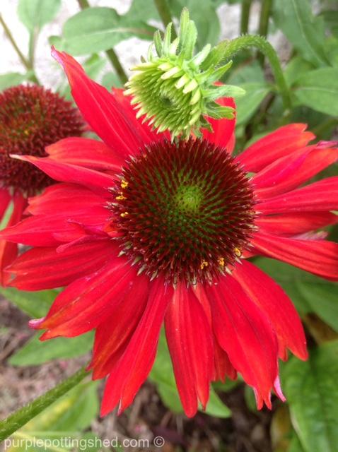 Cone flower, salsa red 2.jpg