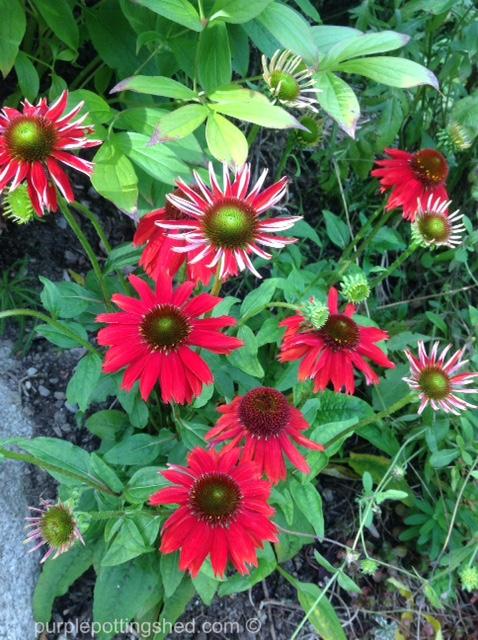 Cone flower, salsa red 6.jpg