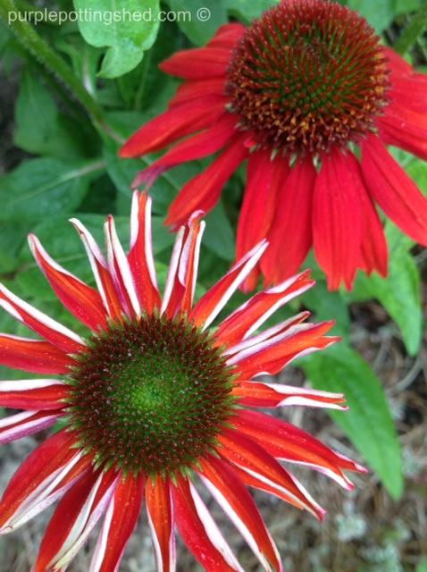 Cone flower, salsa red 5.jpg