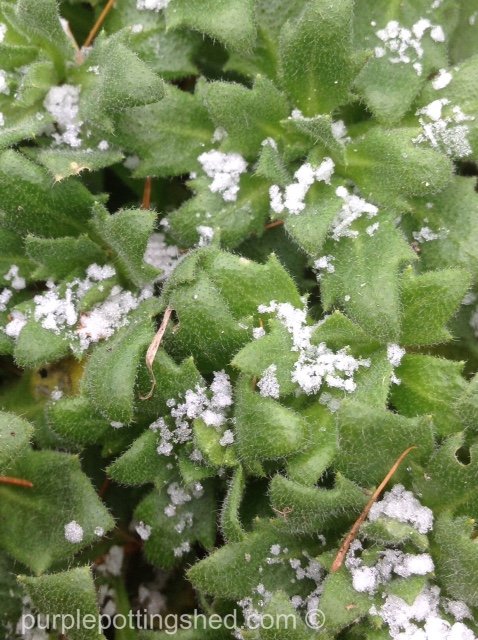 Rock cress with snow.jpg
