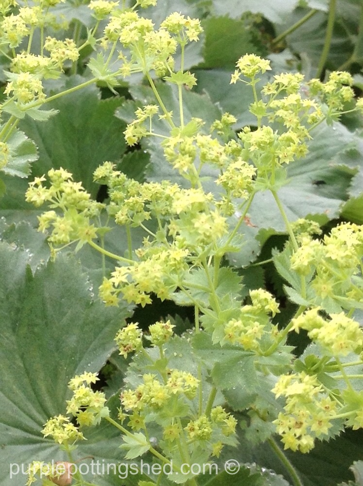 Lady's mantle, bloom up close.jpg