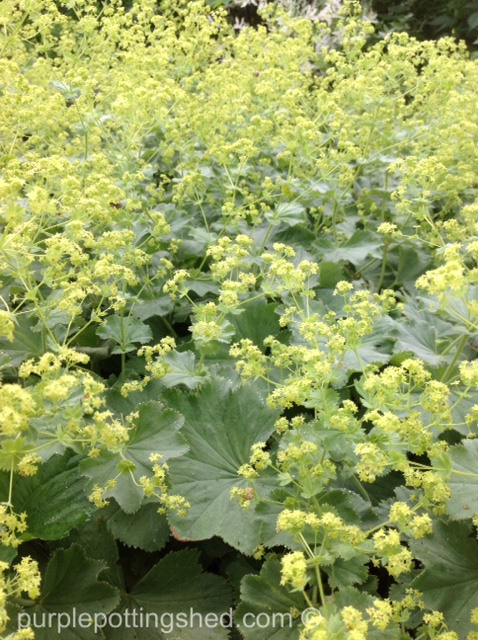 Lady's mantle, cloud of bloom.jpg
