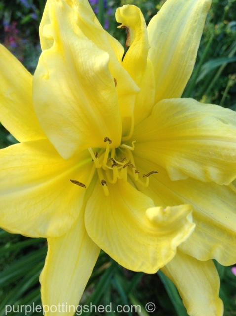 Daylily in sun.jpg