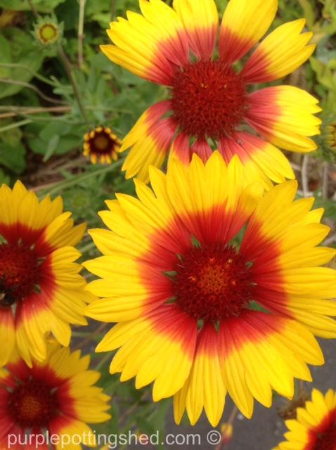 Blanket flower in sun.jpg