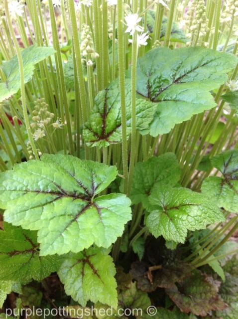 Foamflower foliage.jpg