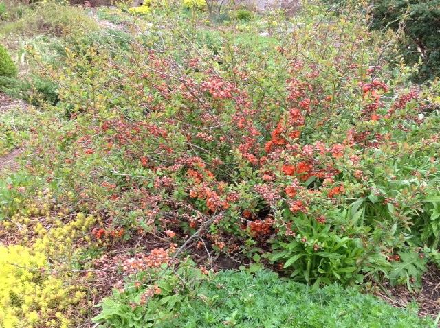 Flowering quince shrub.jpg