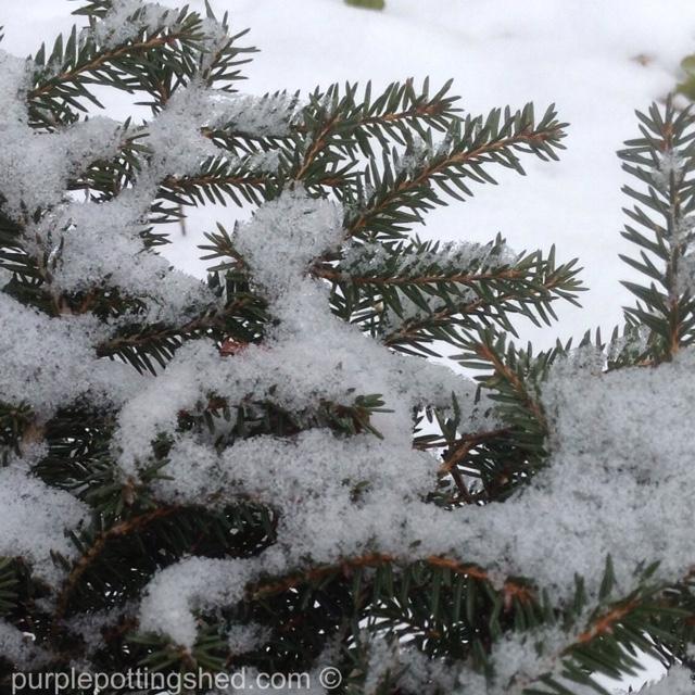Nest spruce with snow.jpg