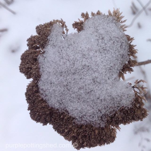 Yarrow with snow.jpg