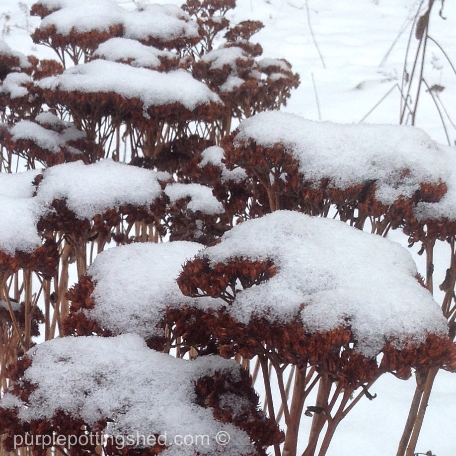 Sedum, Autmumn Joy, with snow.jpg