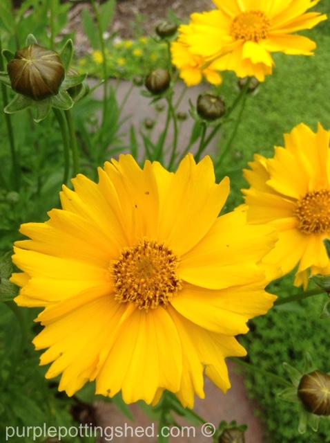 Coreopsis, single bloom.jpg