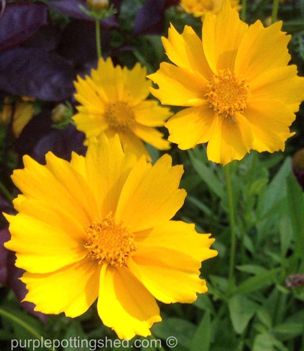 Coreopsis in sun.jpg