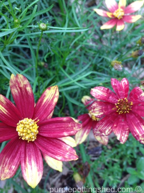 Coreopsis, Route 66, close.jpg