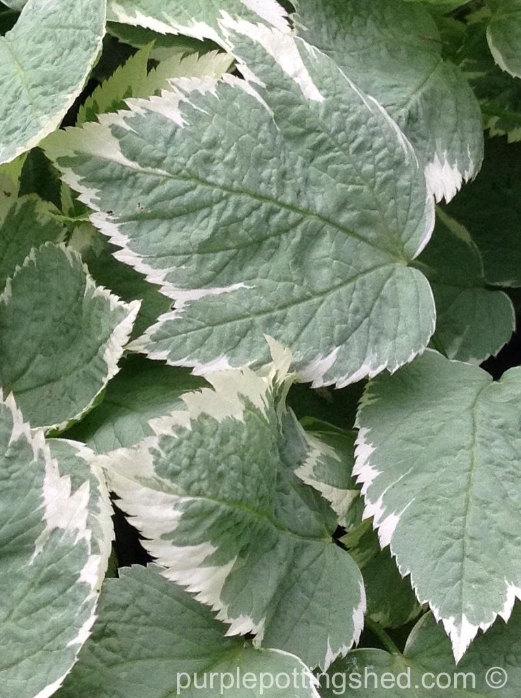 Goutweed foliage, close.jpg