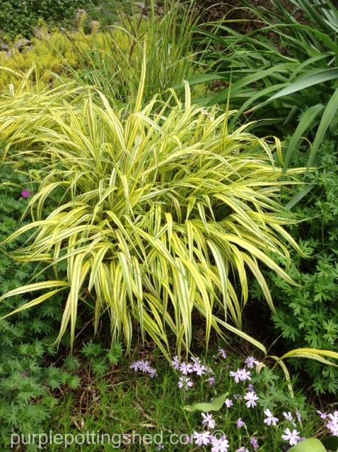 Japanese forest grass, clump.jpg