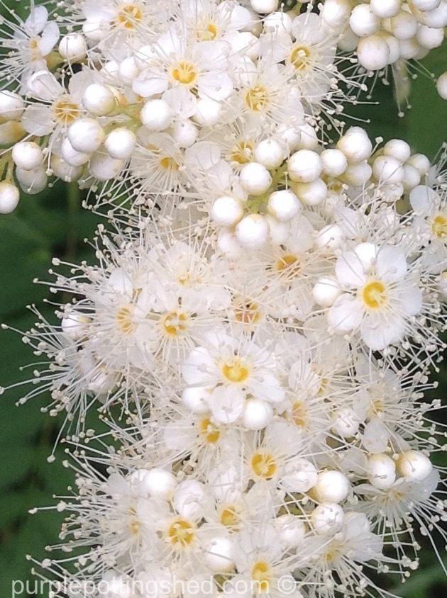 False spirea bloom close.jpg