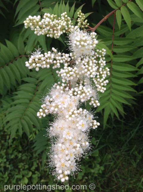 False spirea opening to bloom.jpg
