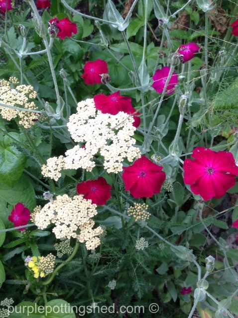 Yarrow and rose campion.jpg