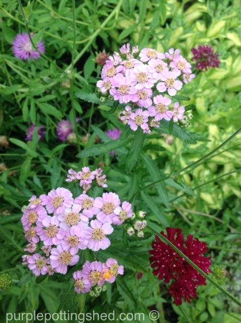 Yarrow in pink.jpg