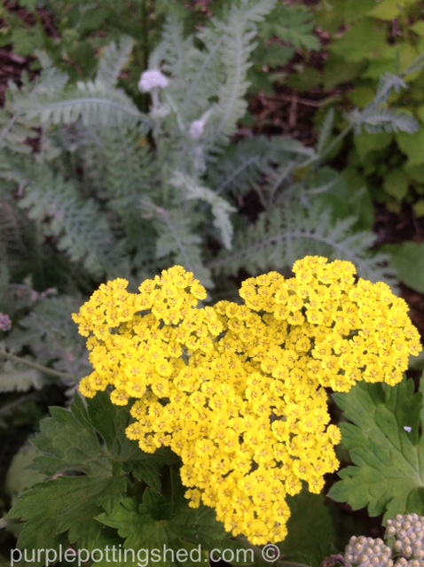 Yarrow, 'Moonshine'.jpg