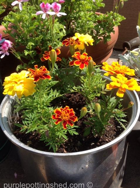 Marigolds in a pot.jpg