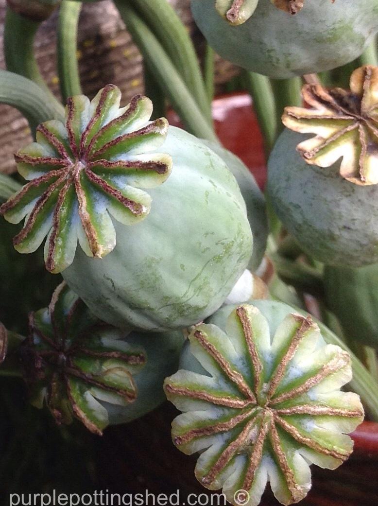 Poppy seed heads, close.jpg