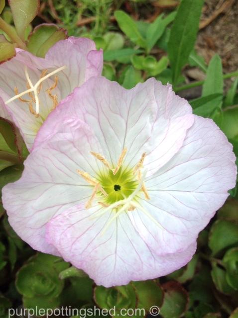 Evening primrose, pink, close.jpg