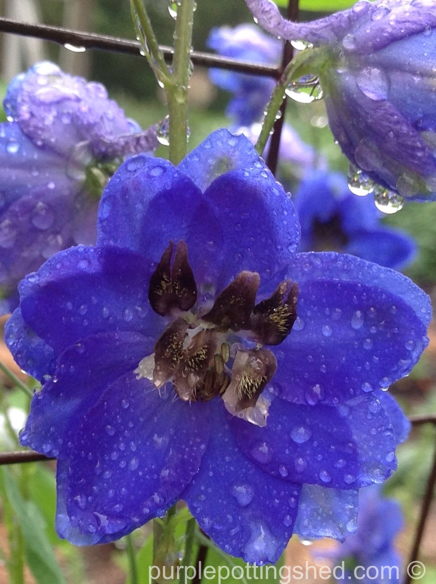 Delphinium single with raindrops.jpg