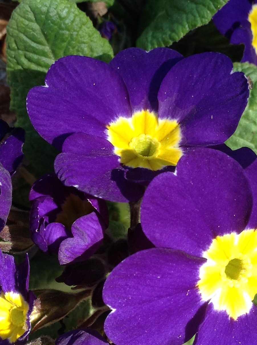 Primula in purple.jpg