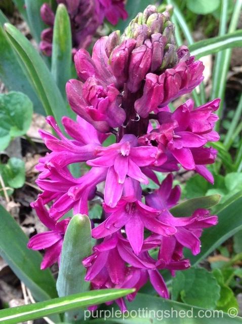 Hyacinth 1.jpg