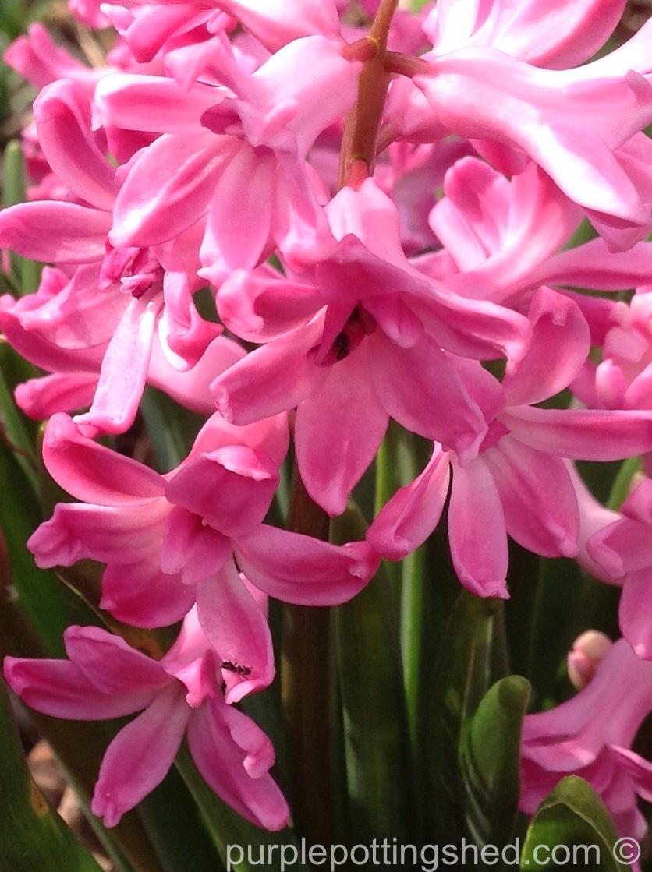 Hyacinth 6.jpg
