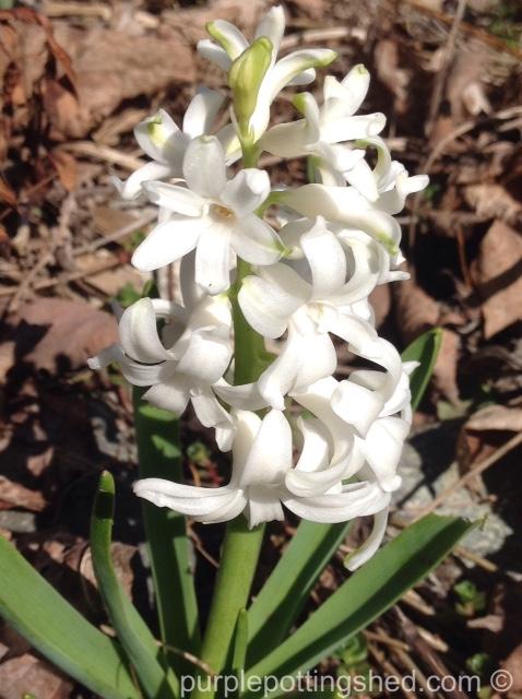 Hyacinth 7.jpg