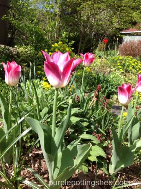 Tulip, Tender Whisper.jpg