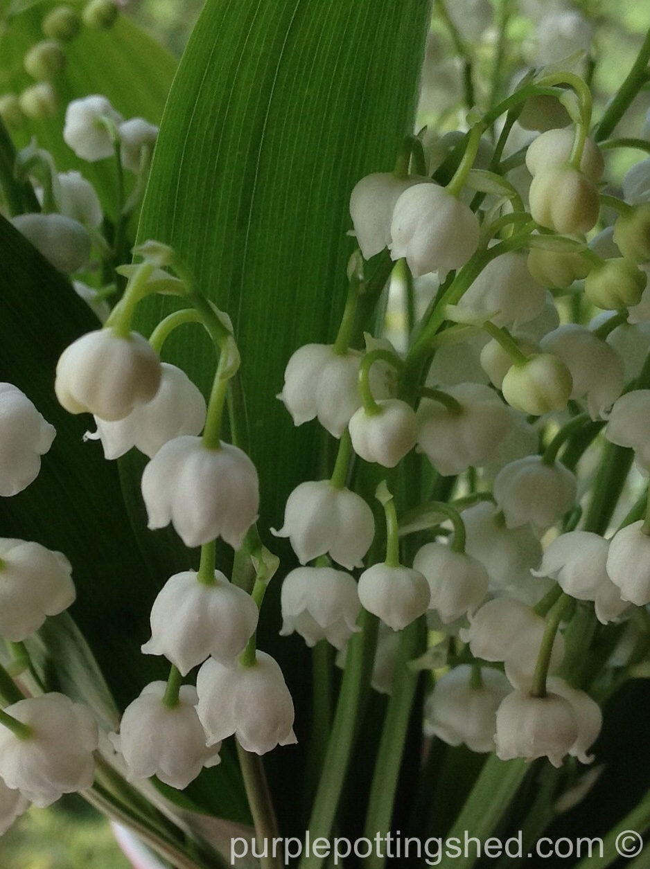 Lily of the valley, close.jpg