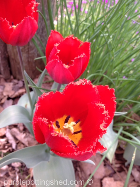 Tulip 8.jpg