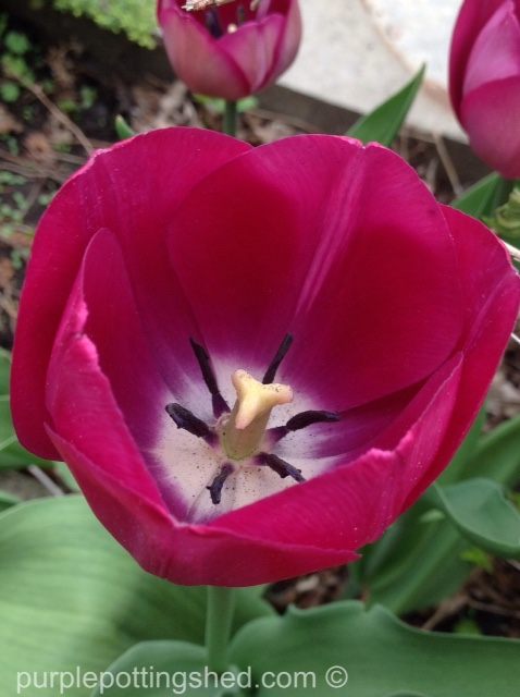 Tulip 11.jpg