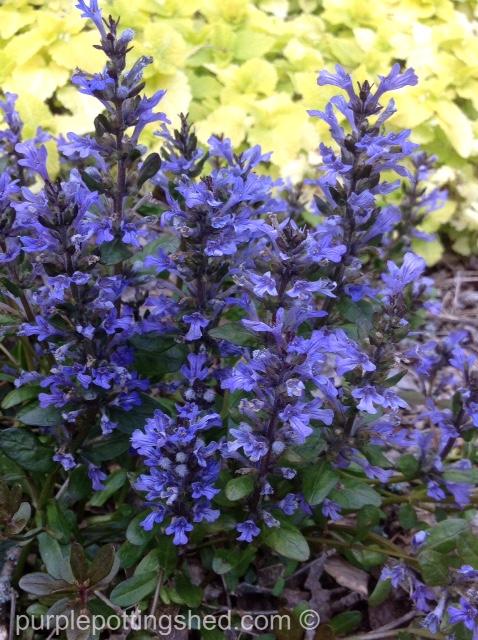 Bugleweed in bloom.jpg