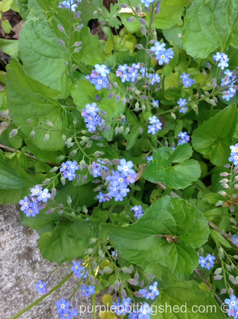Forget-me-nots.jpg