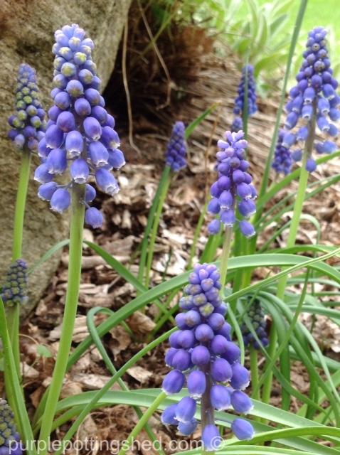 Grape hyacinth.jpg