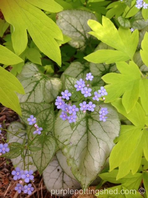 Brunnera blooms 2.jpg