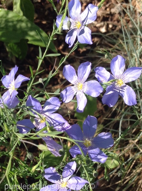 Blue flax in sun.jpg