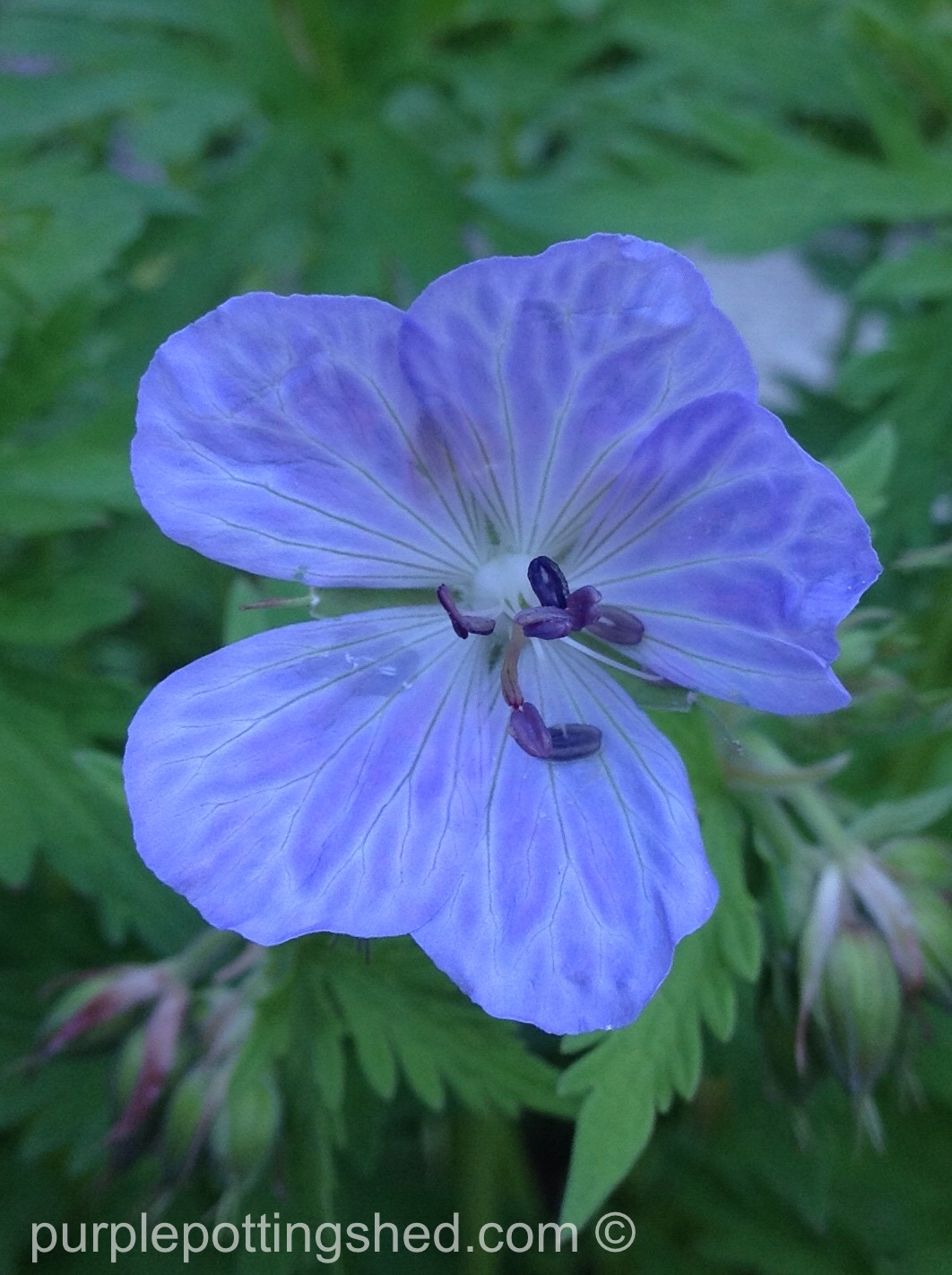 Hardy geranium in blue.jpg