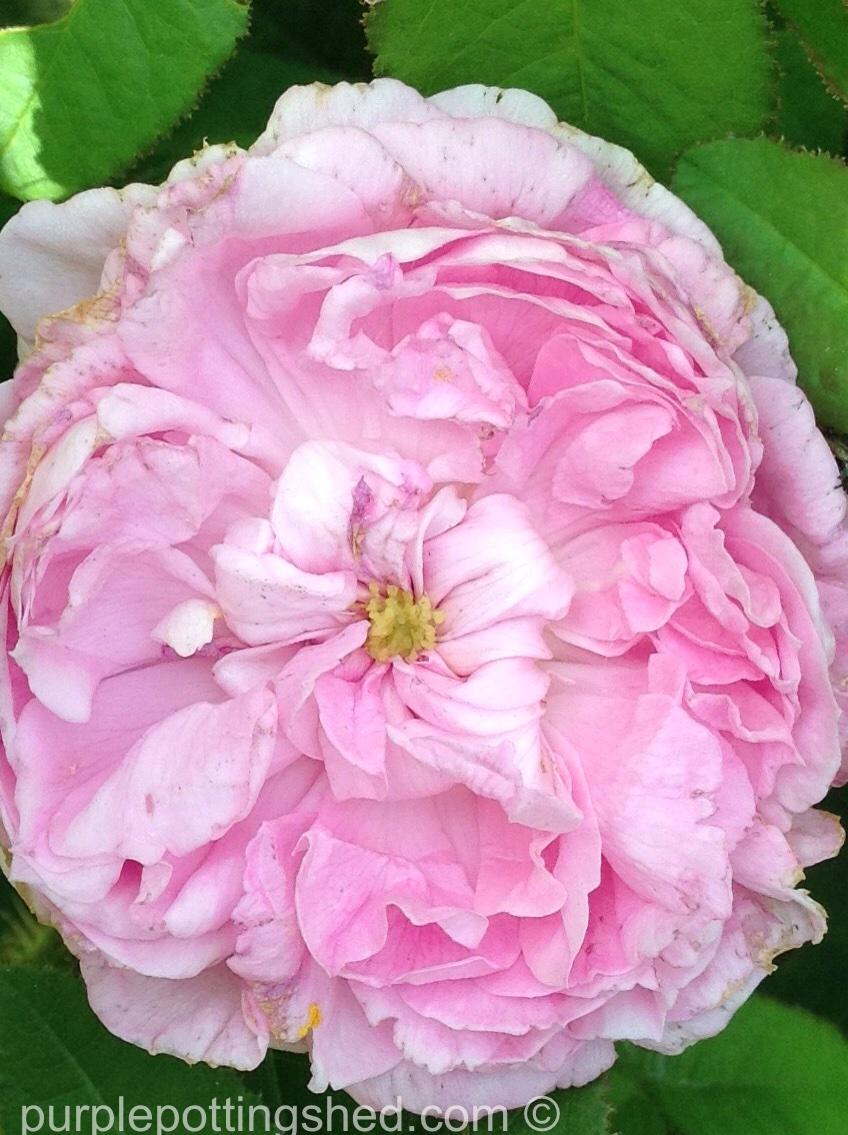 Rose in pale pink.jpg